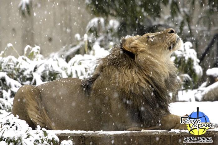 зоопарк пылышенко львы