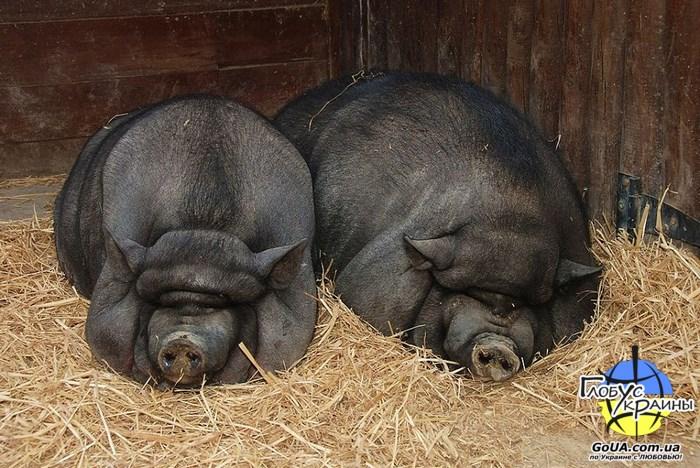 аквазоо петрополь свинки