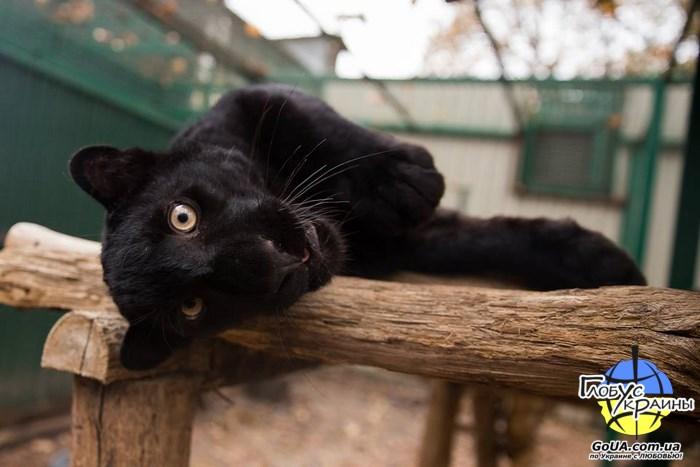 фельдман экопарк харьков пантера глобус украины из запорожья экскурсия