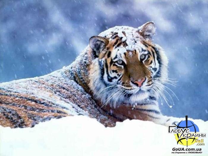 зоопарк пылышенко тигр