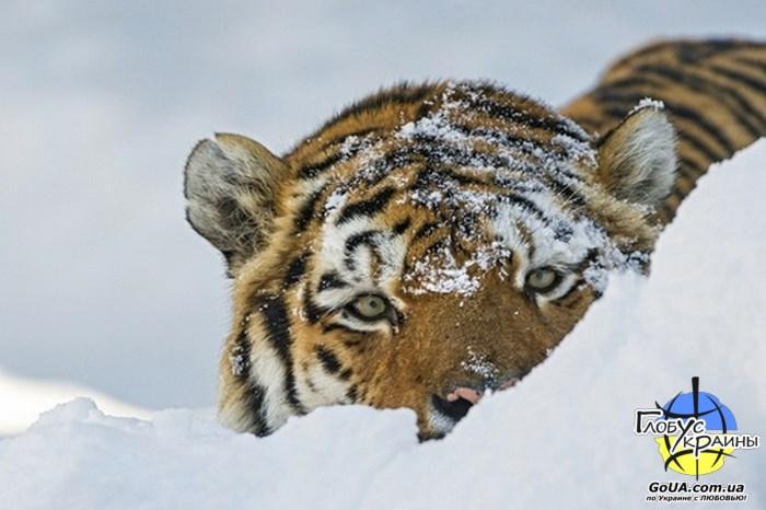 тигр зоопарк пылышенко