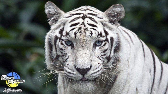 бенгальский тигр глобус украины васильевка зоопарк пылышенко хищники экскурсия из запорожья